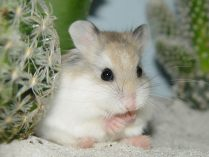 Wallpapers de hamsters